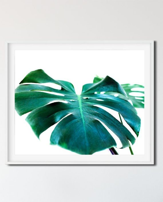 monstera leaf green tropical photography monstera deliciosa close up